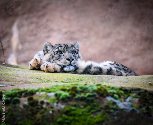 Snow leopard on the rock. Latin name - Uncia uncia