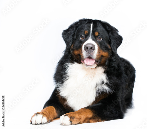 Photo bernese mountain dog closeup portrait