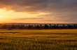 The sunset over wheat field in Germany