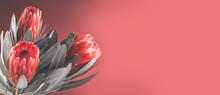 Protea Buds Closeup. Bunch Of ...