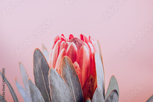 Protea bud closeup. Red King Protea flower on pink background. Beautiful fashion flower macro shot. Valentine's Day gift