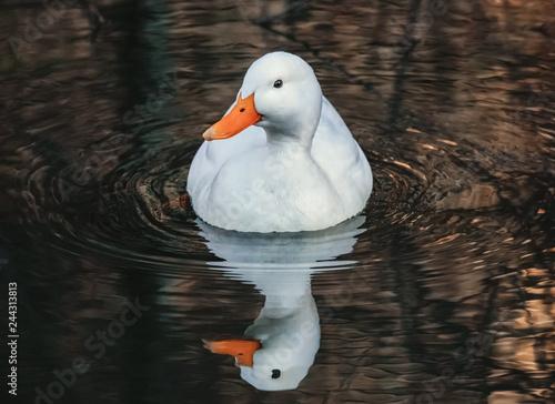Weiße Ente und Spiegelbild