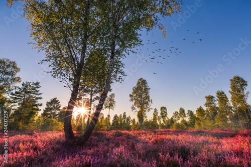Fotomural Heide / Heidekraut blüht mit Sonnenuntergang