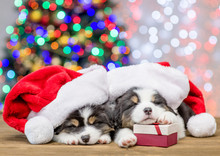 Australian Shepherd Puppies With Red Santa Hats And Gift Box Sleep With Christmas Tree On Background