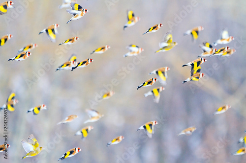 Fotografía goldfinches fly over the forest