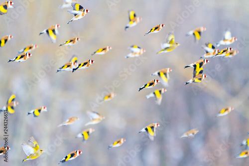 Obraz na plátně goldfinches fly over the forest