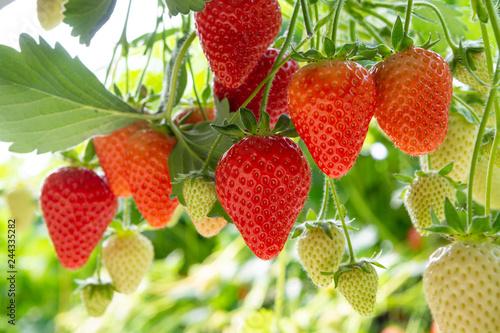 Fototapeta Harvesting of fresh ripe big red strawberry fruit in Dutch greenhouse obraz