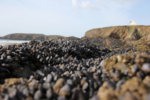 Fresh Mussels Formation On A R...