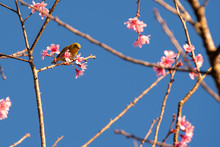 Cherry Blossom Flowers And Yellow Bird On Tree With Blue Sky