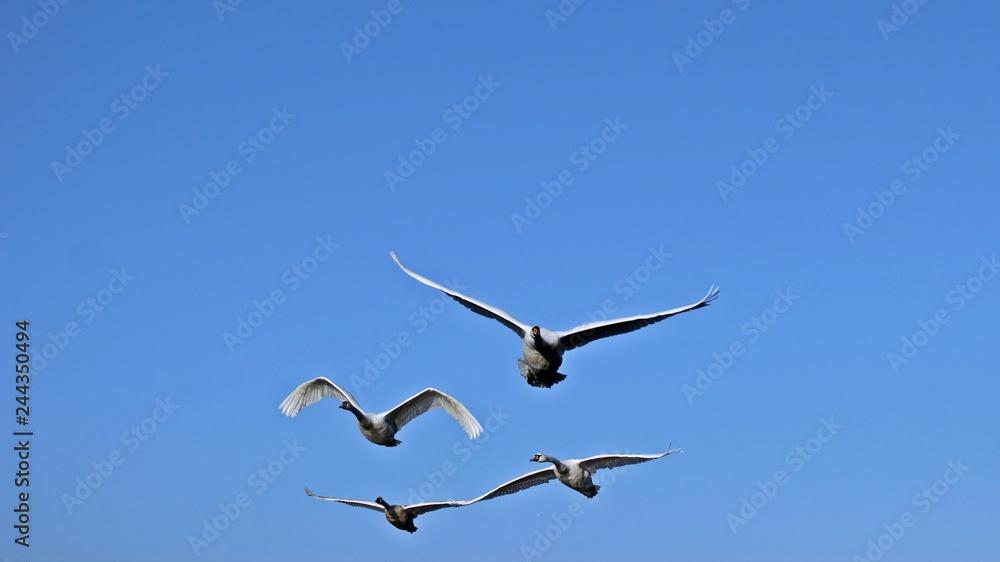 Vier fliegende Höckerschwäne (Cygnus olor) frontal vor blauem Himmel