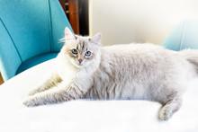 Neva Masquerade Cat, Variety O...