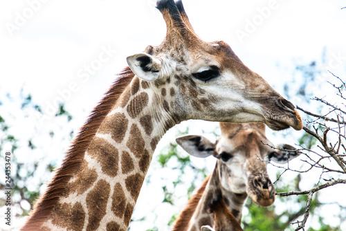 Giraffen - Köpfe Fototapeta