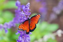 Monarch (milkweed) Butterfly On Purple Flower (Salvia)