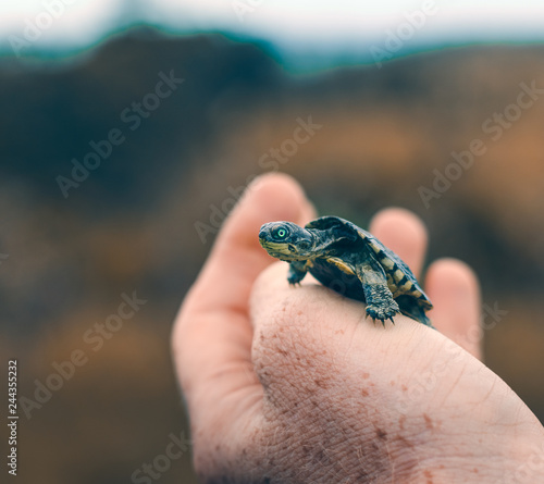 Fototapeta  Baby tortoise in hand