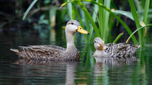 Pair Of Mottled Duck On A Florida River
