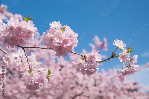 Fotografia  blühender Zweig vom Kirschbaum, Hintergrund soft Kirschblüten