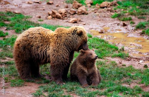 Murais de parede Mother bear caressing her cub