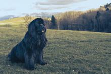 Big Newfoundland Dog Sitting O...