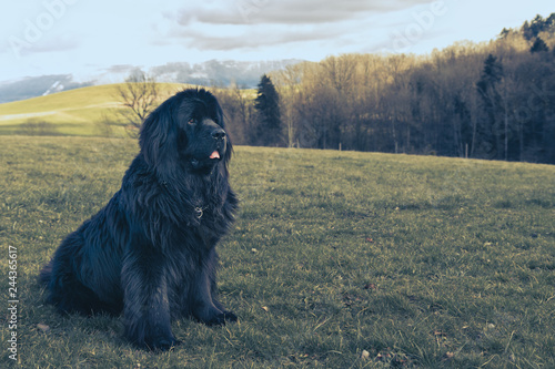Slika na platnu Big newfoundland dog sitting on the grass