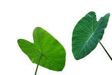 Large Heart Shaped Green Leaves Of Elephant Ear Or Taro (Colocasia Species) The Tropical Foliage Plant Isolated On White Background, Clipping Path Included.