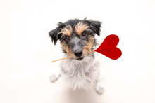 Romantic Dog - Small Cute Jack Russell Terrier Doggy With A Heart As A Gift For Valentine In The Mouth Is Looking Up. Picture Isolated On White.