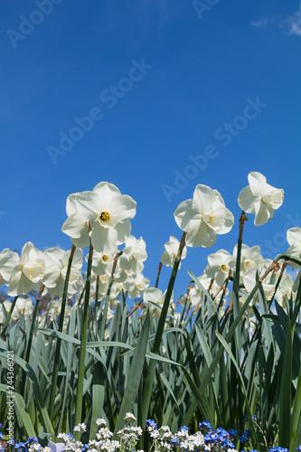 Blumenbeet mit weißen Narzissen und blauer Himmel mit Platz für Text