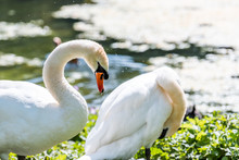 Two White Swans Preening Feathers With Orange Bill Beaks In London, UK St James Park Green Lake Pond Closeup In Summer With Bokeh Blurry Background