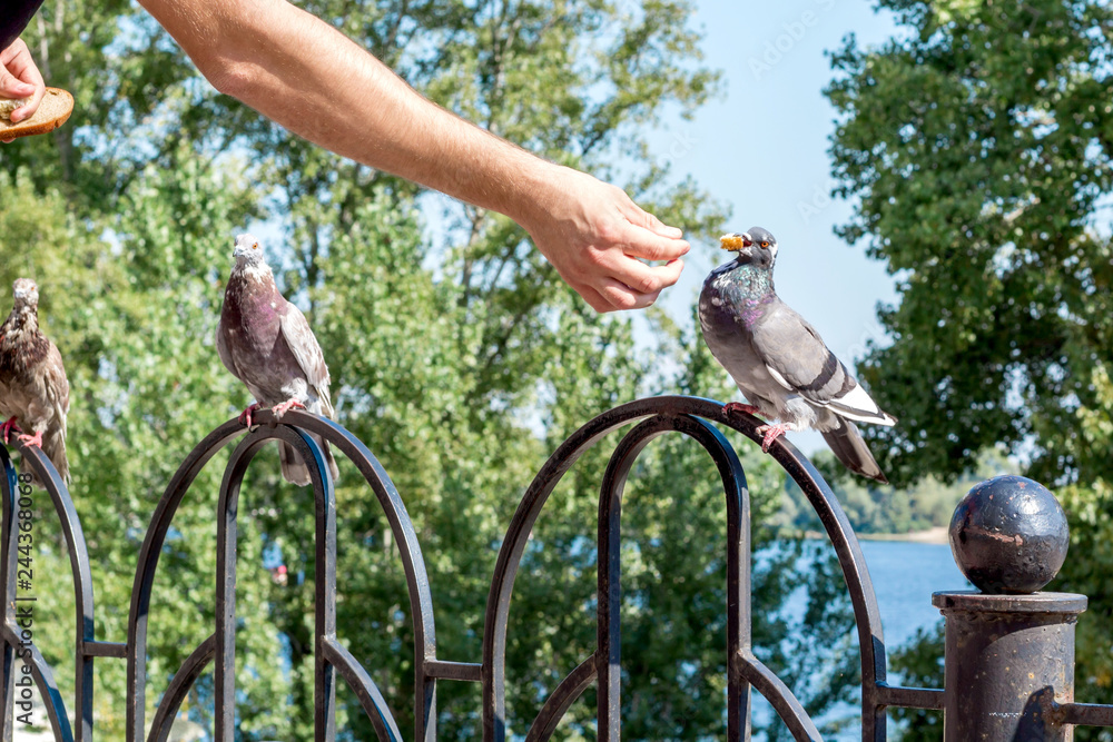 Man feeding city pigeon bird with arm in outdoor park
