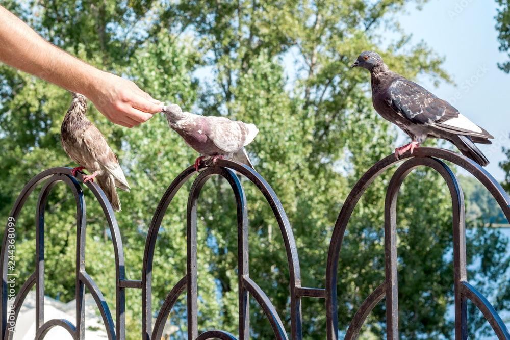 Man feeding breeding city pigeon with arm in outdoor