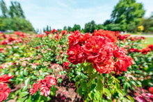 London, UK Queen Mary's Rose Gardens In Regent's Park During Sunny Summer Day Blue Sky With Red Colorful Vibrant Flowers Wide Angle Closeup