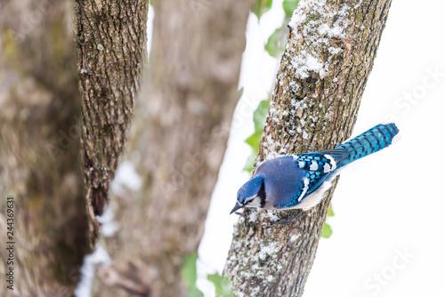 Carta da parati Closeup aerial high angle view of one blue jay Cyanocitta cristata bird perched