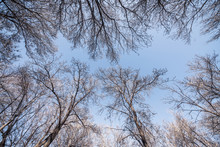 A View Of Winter Tree Branches Looking Upwards Toward The Bright Blue Sky.