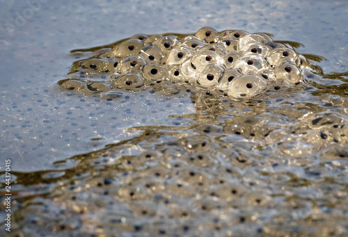Foto op Plexiglas Kikker frog spawn