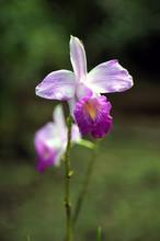 Wild Orchid In Costa Rica