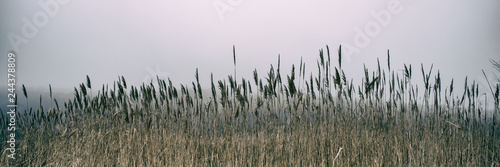 Fotografia Thickets of reeds and snow on a meadow on a foggy day, panoramic landscape