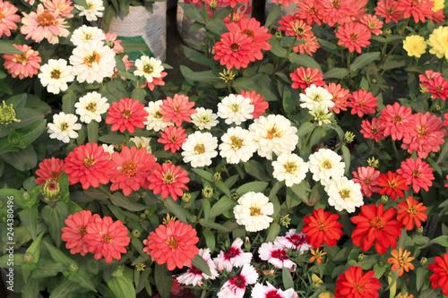 Poster de jardin Dahlia Zinnia Angustifolia Flower