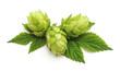 Fresh cones of hops.