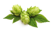 Fresh Cones Of Hops.