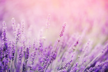 Closeup Of Lavender, Purple Tone Sunlight. Fabulous Magical Artistic Image Of Dream, Copy Space