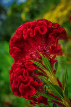 Beautiful Red Celosia Argentea...