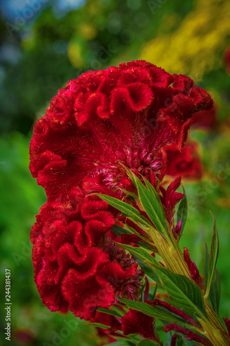 Beautiful red Celosia argentea cristata flowers Fototapet