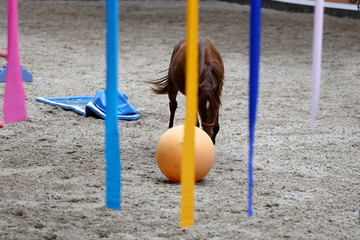 Young horses playing with balls in riding hall indoors