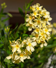 Nice Yellow Oleander In The Ga...