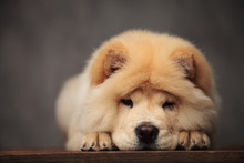 Cute Chow Chow Resting On Its ...
