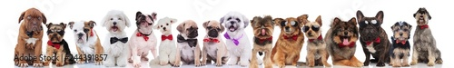 team of many cute dogs wearing bowties and sunglasses Fototapeta
