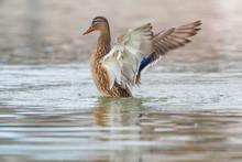 Wild Duck Flapping Wings, Mallard Female (Anas Platyrhynchos)