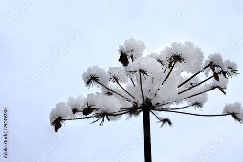 Śnieżny kwiat - fototapety na wymiar