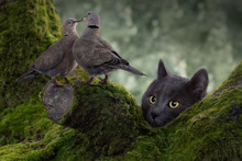 Cat Hunting Pigeons On A Tree