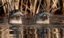 Otters In Canada