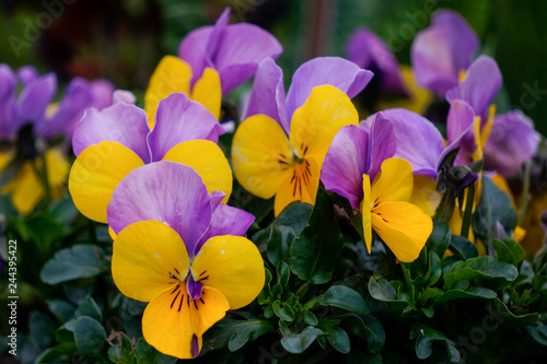 Ingelijste posters Pansies Colourful flowerbed of pansies. Lovely garden flowers in vibrant purple and yellow on a beautiful spring day.